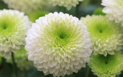 DAYS OF LEAVES AND CHRYSANTHEMUMS